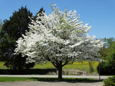 What Is A Specimen Tree: Information On Planting A Specimen Tree - You'll find lots of advice on the Internet about how to use specimen trees. But what is a specimen tree? In case you are confused, it's not a species of tree. Rather, it's a tree planted by itself as a stand-alone garden feature. Learn more in this article.