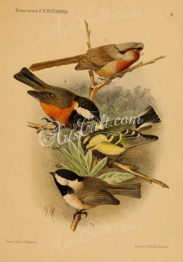 suthora przewalskii, Black-bibbed Marsh Tit, Yellow-bellied Tit, Pere David's Tit      ...