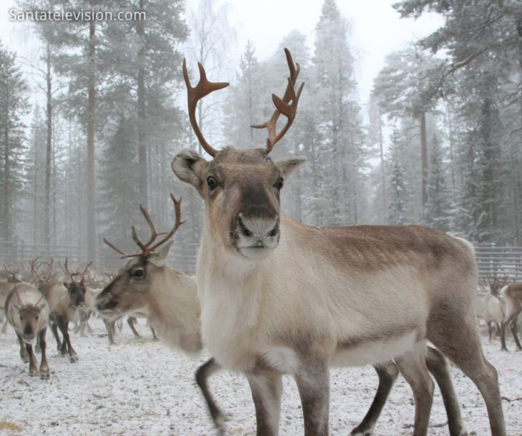 Renne en Laponie, Finlande