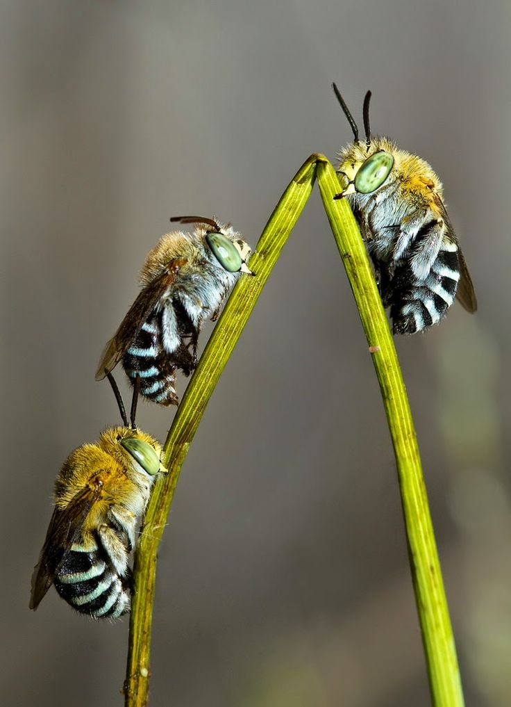 Hardy's Corner: Photo : Blue Banded Bees roosting for the night