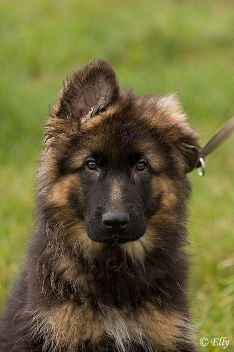Longhaired German Shepherd Dog pup                                                                                                                                                                                 More