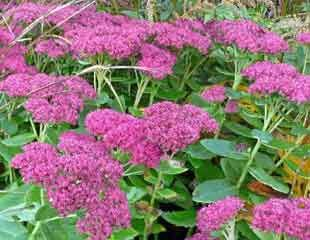 How to grow Sedums