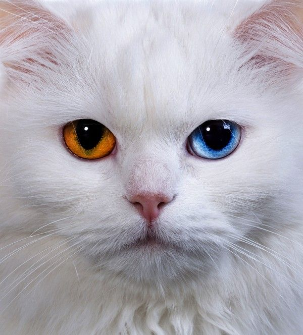 Best CAT EYES Maybe Your Own Color Should Match Your Cats - This is pam pam the kitten with heterochromia with hypnotic eyes you just cant stop looking at