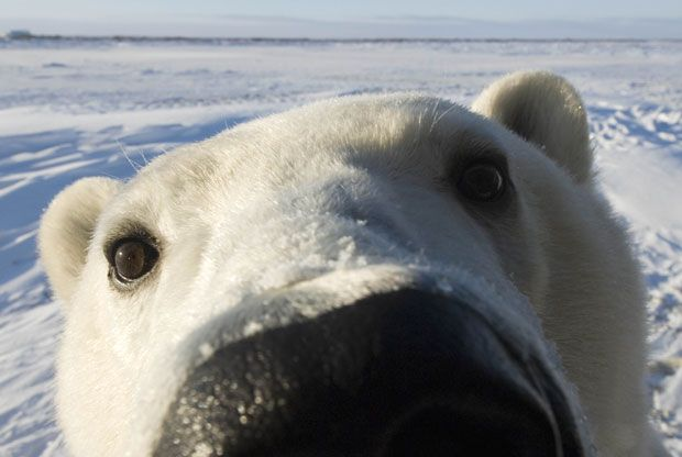 A polar bear photographed close up at Hudson Bay, Churchill, Manitoba, Canada