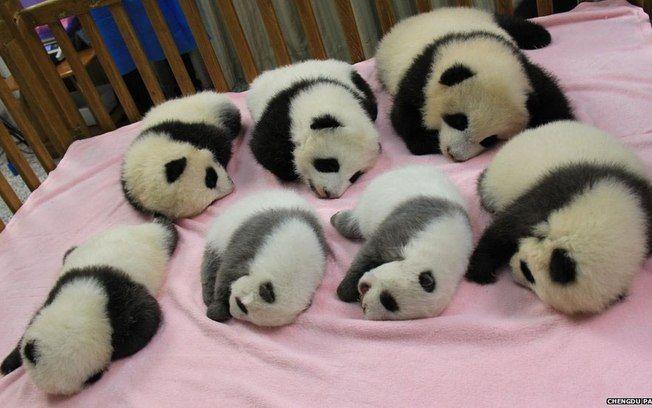 Por que os ursos panda são preto e branco? - Fatos Desconhecidos