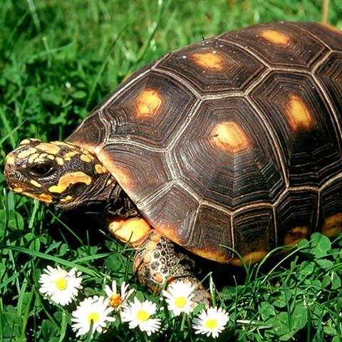 This is what my tortoise is- a red footed tortoise!