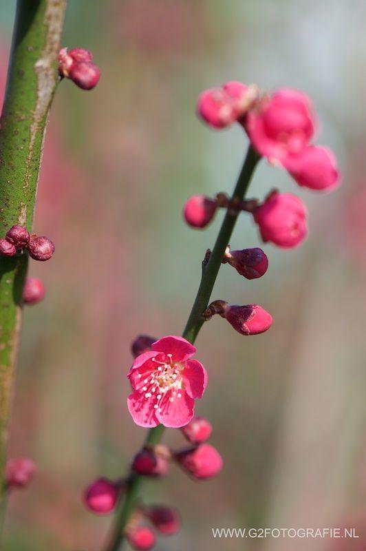 flower, spring, blossom, sakura, pink