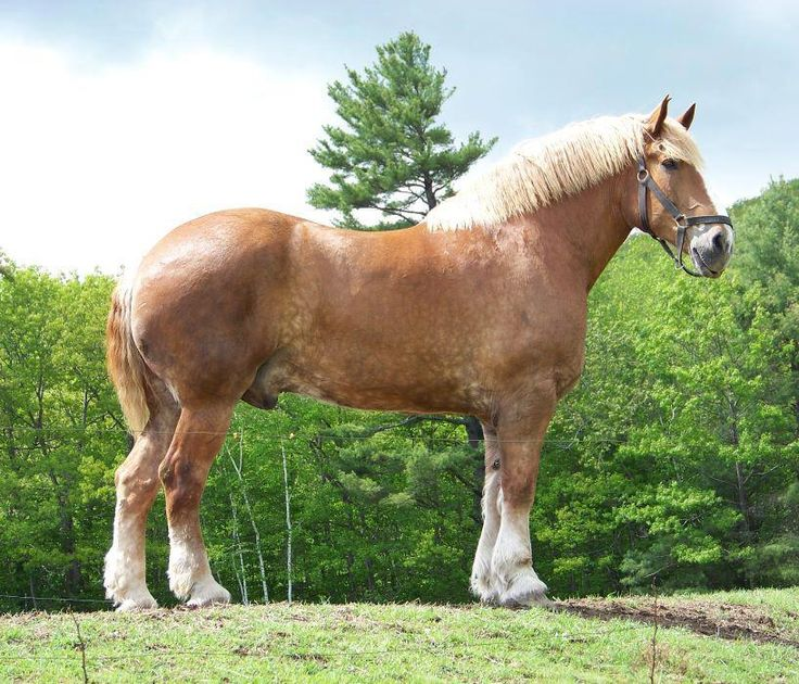 Biggest Horse In The World