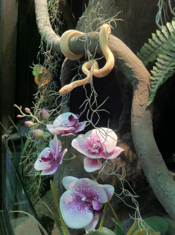 H P Reptiles albino python H...