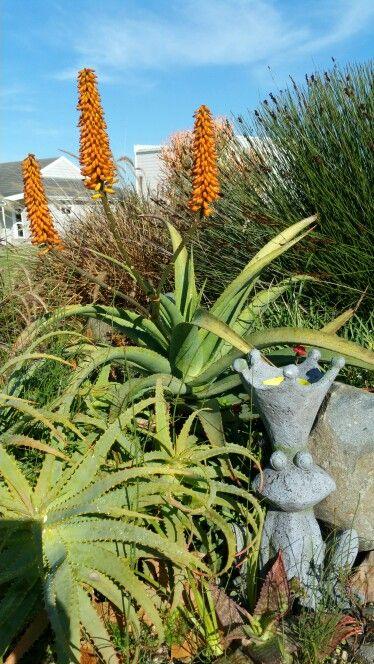 Hybrid Aloe