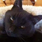 Bombay Cats Beautiful face. Incensewoman