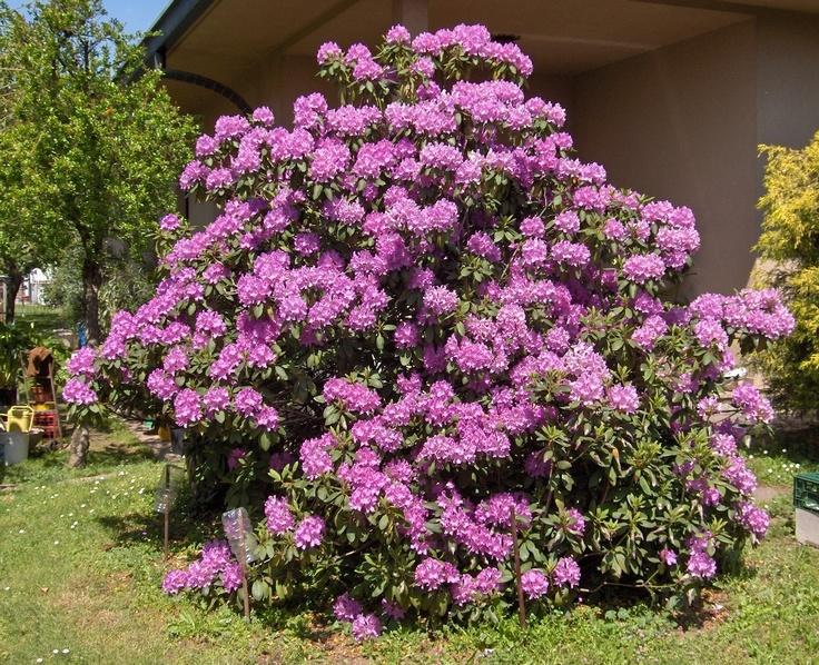 1000 images about rododendro on pinterest sodas for Alberelli da esterno