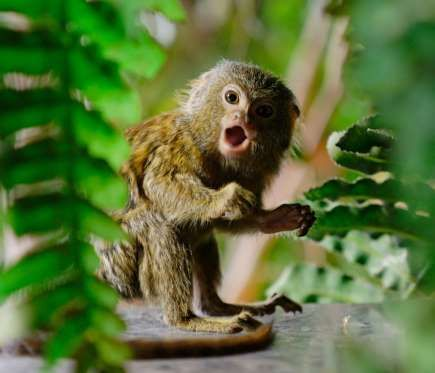 Un ouistiti pygmée surpris.