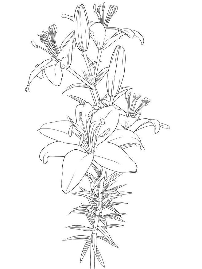 Lily Tattoo Line Drawing : Best flowers drawings of lily images on pinterest
