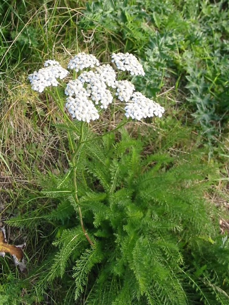 Yarrow - Diaphoretic, astringent, tonic, stimulant and mild aromatic. Alternative to hops in Sweden. Said to be good for cramps and to be given to children at the beginning of eruptive diseases
