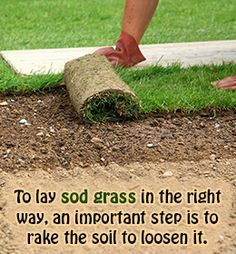Tip to lay sod grass