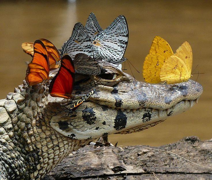 O fotógrafo Mark Cowan estava viajando pela Amazônia estudando a diversidade de répteis e anfíbios quando se deparou com uma cena incomum... Um jacaré usando uma coroa de borboletas!