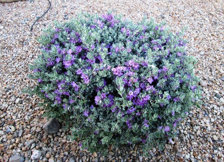 Texas sage is perennial hardy low care relatively for Low maintenance perennial flowering shrubs