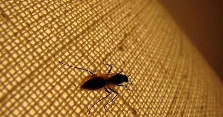 Como se livrar de vespas-oleira. A vespa-oleira é um tipo de vespa que constrói seu ninho com barro. Ela pode ser um problema, pois gosta de fazer seus ninhos em máquinas, escapamento de automóveis e em quintais. Um ninho de barro pode danificar o tubo de escape do seu carro ou de sua maquinaria agrícola. As vespas-oleira geralmente não picam, a menos que sejam provocadas, mas ...