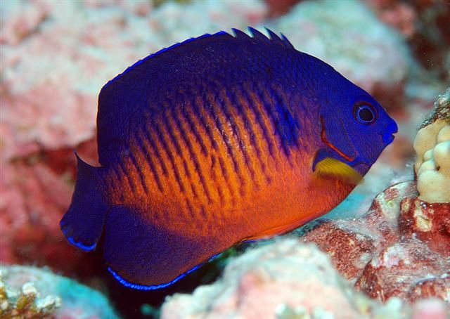 Two-spined Pygmy Angelfish (Centropyge bispinosa)