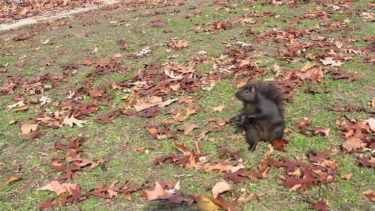 Plim, plim, l'esquirol