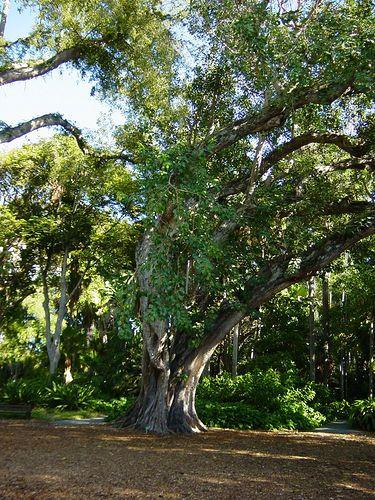 Bodhi tree foster botanical gardens hawaii