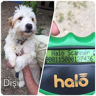 Arlington, MA - Goldendoodle Mix. Meet MIA, a dog for adoption. http://www.adoptapet.com/pet/15441240-arlington-massachusetts-goldendoodle-mix