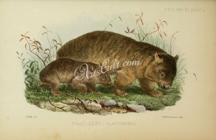 Common wombat or coarse-haired wombat or bare-nosed wombat      ...