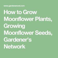 How to Grow Moonflower Plants, Growing Moonflower Seeds, Gardener's Network
