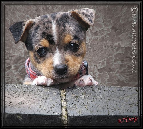 """Jackhuahua Puppy Portrait Floozie would like to remind us just what a cute puppy she was A Little Dogs Prayer A master who is firm and kind, And understands a Doggie mind; A """"Walkie"""" and a meal each day That's all I ask for when I pray. Best Pet Insurance! http://www.offers.couponrainbow.com/embrace-pet-insurance/"""