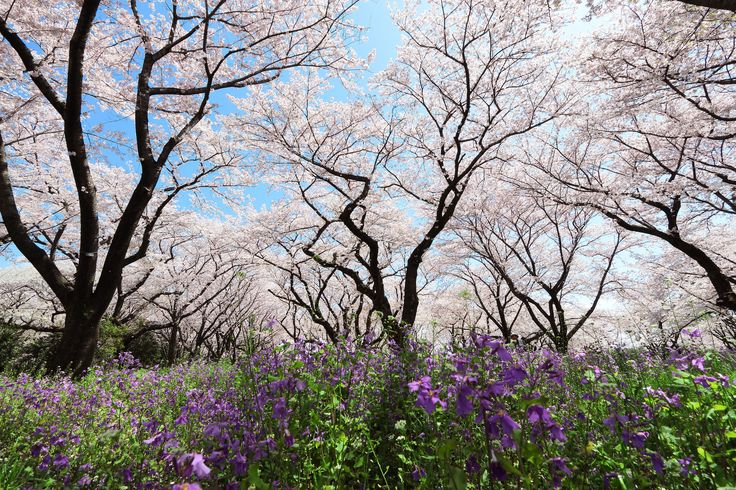 https://flic.kr/p/TZvCzC | 桜とムラサキハナナ