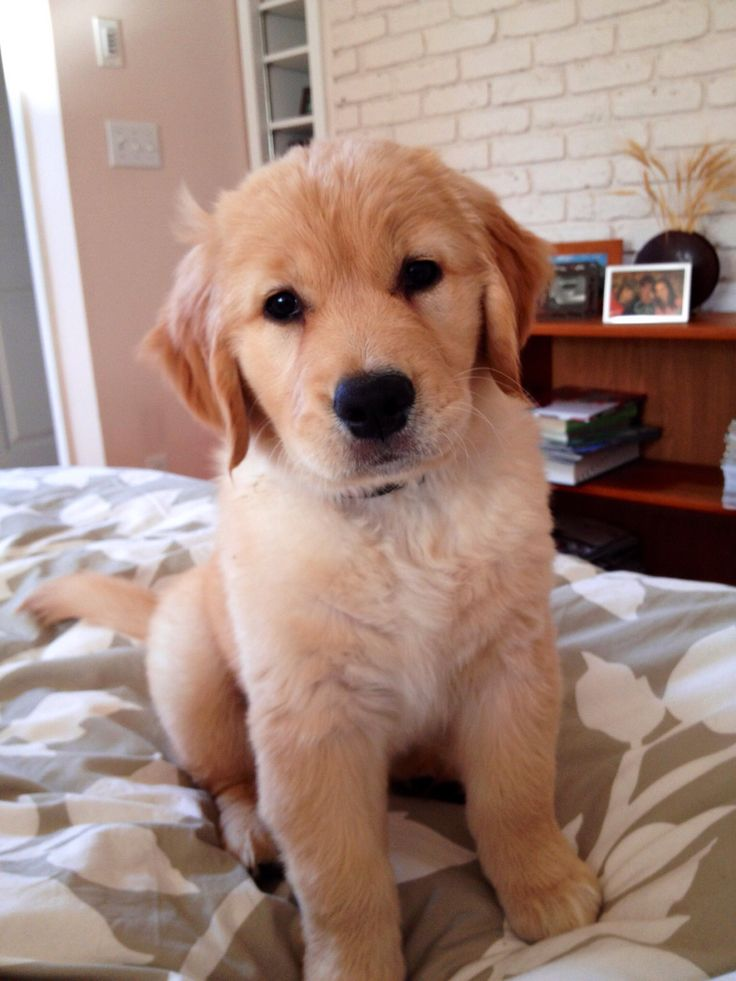Puppy ; golden retriever !