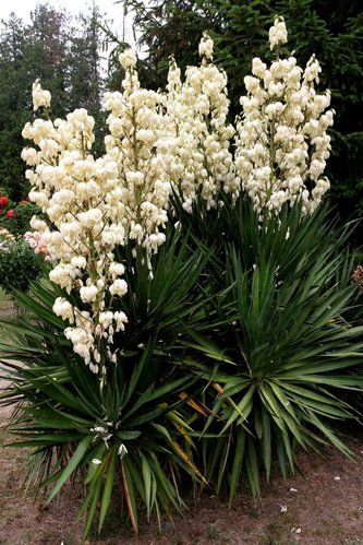 97 best plants design yucca images on pinterest plant. Black Bedroom Furniture Sets. Home Design Ideas