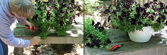 Pruning Petunias - and taking care of calibrachoa
