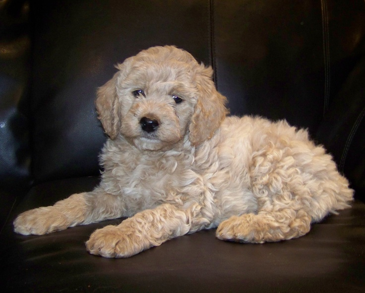 Double Doodle Dogs For Sale