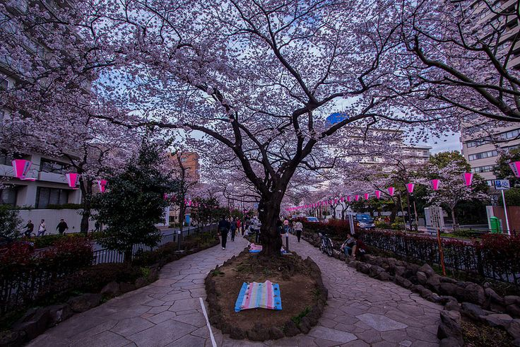 Blossom Tree - Tokyo (Japan)