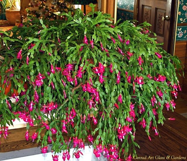 Christmas cactus - over 100 years old