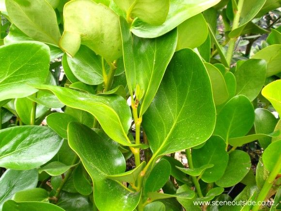 Griselinia lucida - Shining broadleaf, Puka, Akapuka; H to 5m x W 2-4m. This larger-leafed species is the better one for Auckland's climate.
