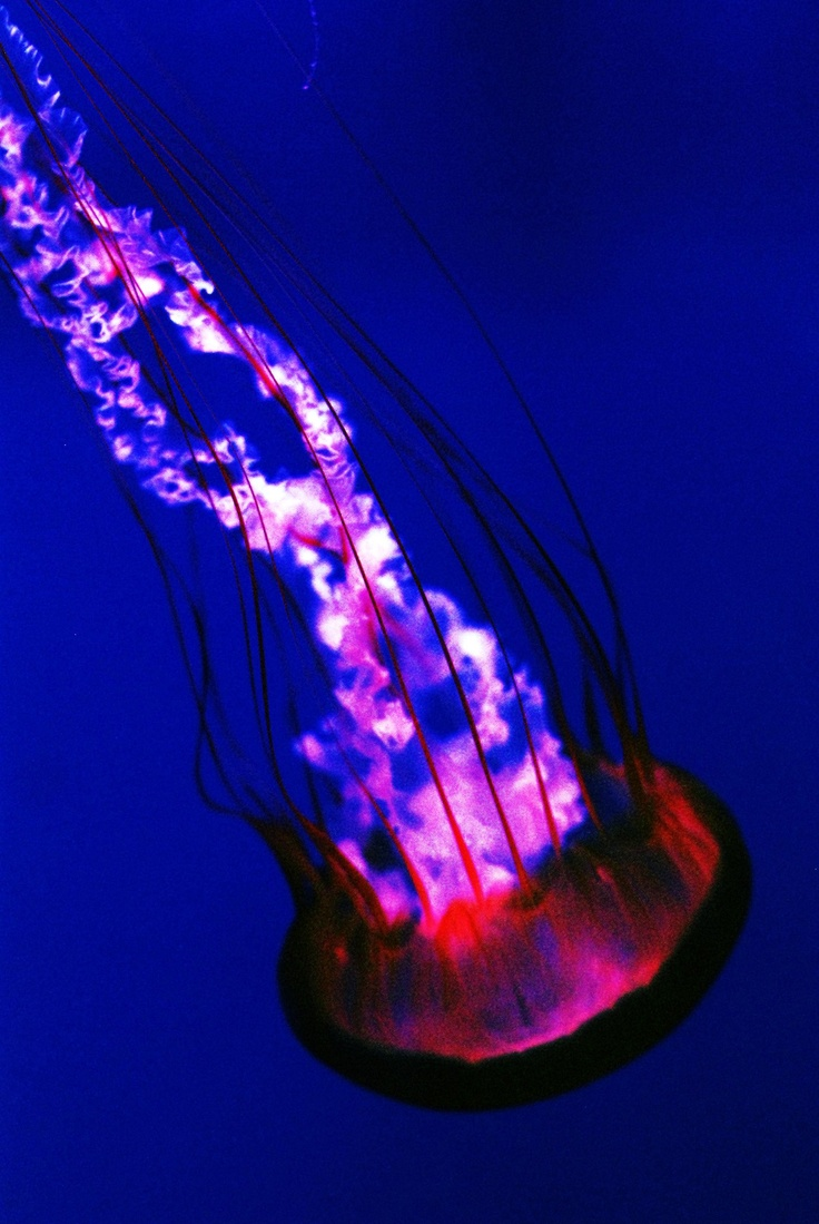 Man of War aka Jellyfish