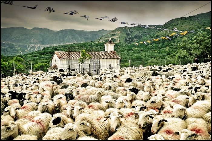 Every year on the name day of Saint George, the shepherbs of Asi Gonia in Crete bring their sheep from the mountains so that the priest of the village blesses them with this red mark.