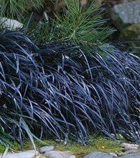Ophiopogon planiscapus niger - Zwartgras