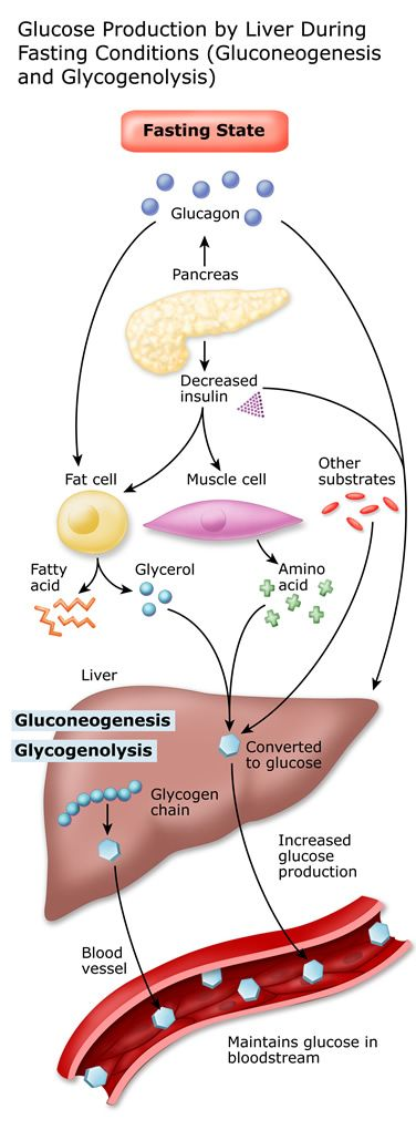 Diabetes & liver:  Glucose production by the liver during fasting conditions