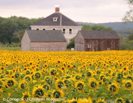 Buttonwood Sunflower Festival Dates Connecticut