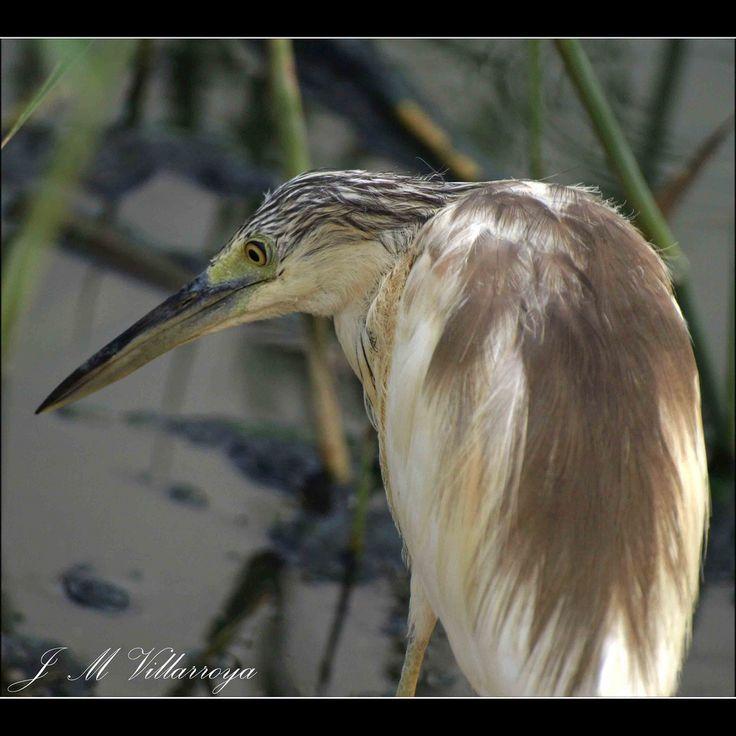 Aquacco heron - PA310099ts