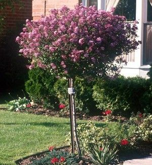 "Dwarf Korean Lilac ""Palibin"" Standard tree. I have this in mind for the corner coming around into the backyard near your back windows. the by felicia"