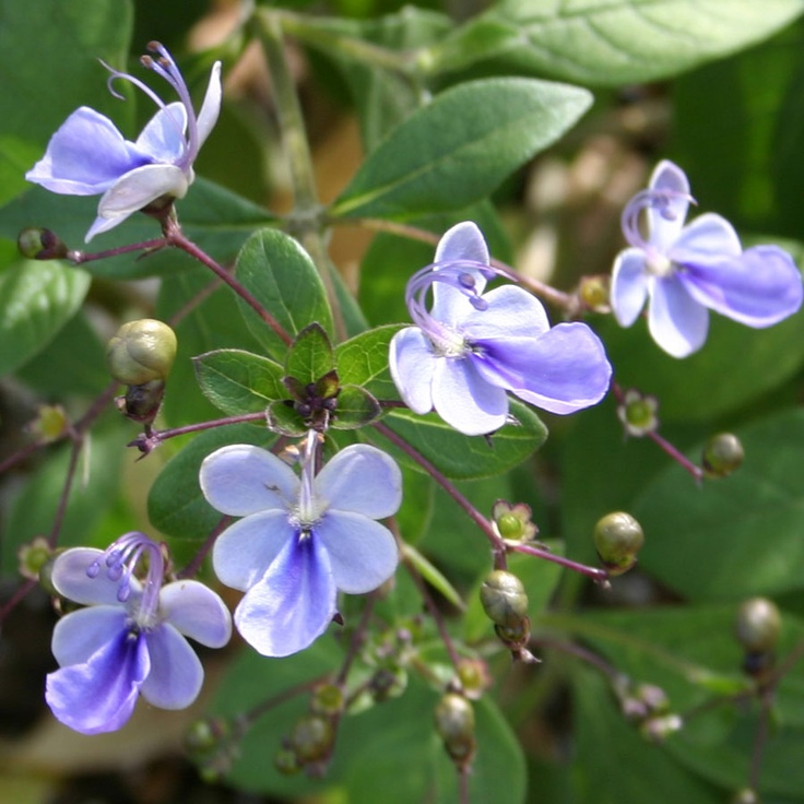 Butterfly Flower Clerodendron Plant , Shade Loving Tropical Vine , Zones ,  Plenty Of Small Blue On Blue Flowers , Until Fall