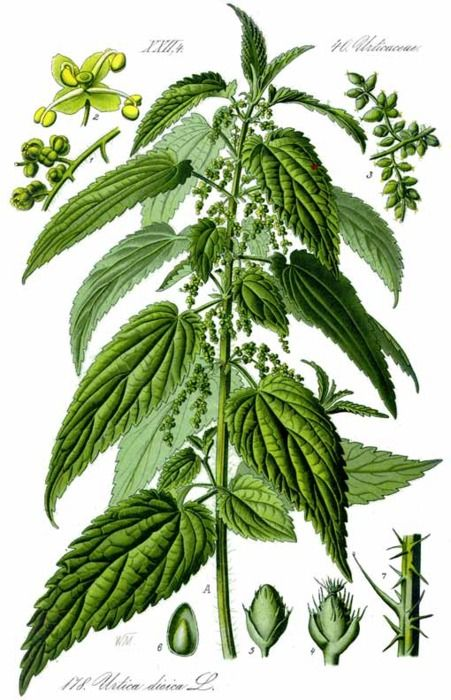 herbalhealing: Nettle (Urtica dioica) Parts used: Leave, seeds, roots and young tops Benefits: This is the stinging nettle that farmers hate, hikers despise and children learn to avoid. But herbalists around the world fall at the feet of this green goddess. It is a vitamin factory, rich in iron, calcium, potassium, silicon, magnesium, manganese, zinc, and chromium, as well as a host of other vitamins and minerals. It makes a wonderful hair and scalp tonic, and activated the met