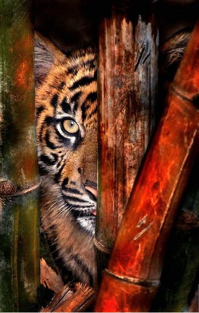 behind the bamboo: Wild Animal, Big Cats, Wild Life, Football Season, Wild Cats, Brown Tigers, Life Photography, Into The Wild, Peek A Boo