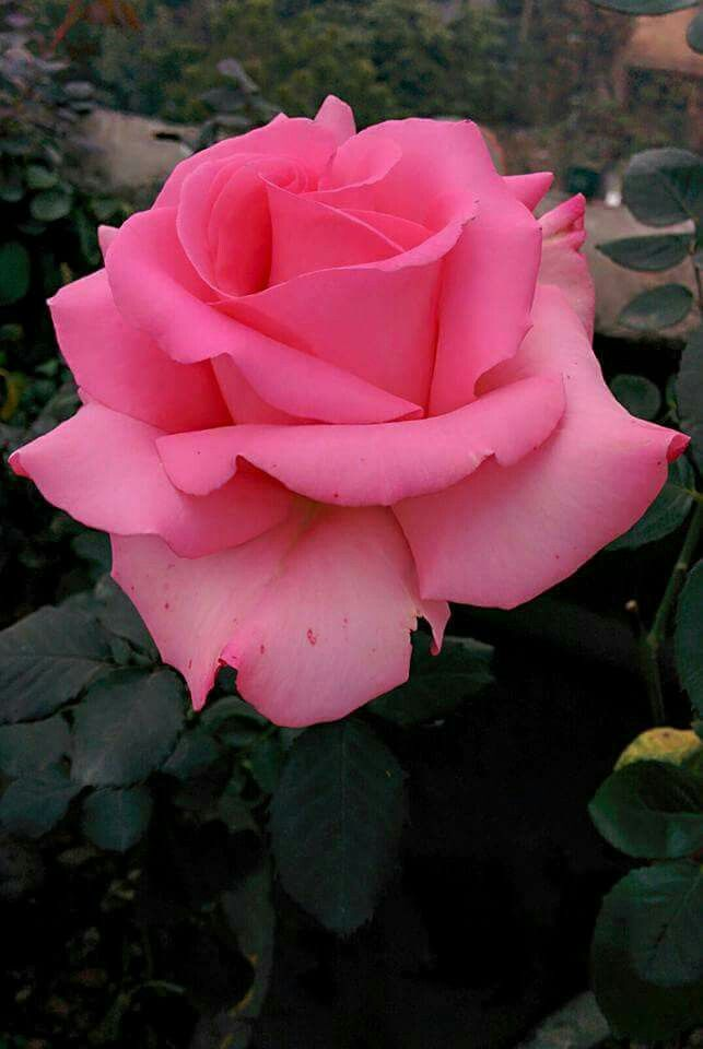 Love Garden Roses: 17 Best Images About Roses, Gardenias, Magnolias On