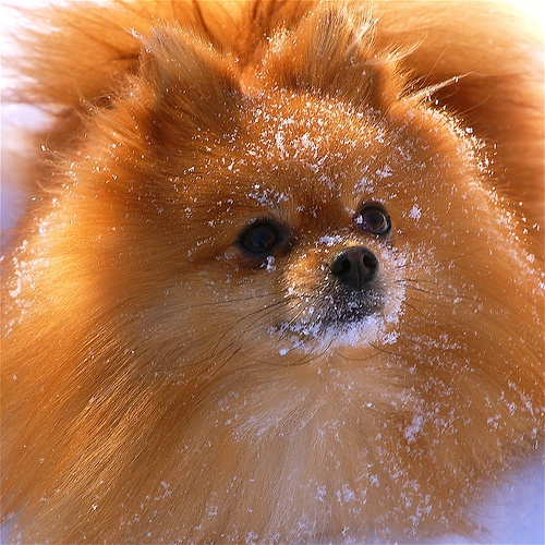 RUFUS THE SNOW POM